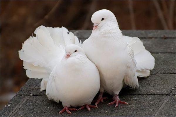 Видео запуск голубей на свадьбе фото 41-544